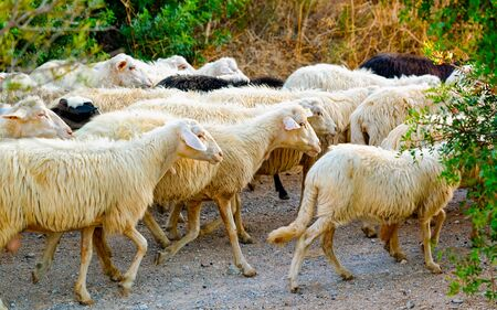 Rural landscape. Flock of sheep at agricultural village in Perdaxius, Carbonia-Iglesias. Panorama in South Sardinia island of Italy. Scenery of Sardegna in summer. Cagliari province. Mixed media.
