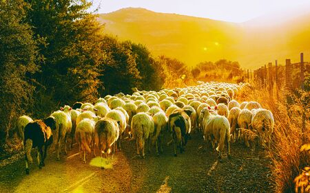 Sunrise and Flock of sheep at agricultural village in Perdaxius, Carbonia-Iglesias. Panorama in South Sardinia island of Italy at sunset. Scenery of Sardegna in summer. Cagliari province. Mixed media.