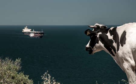 irish countryside: A cow curiously watching freighters