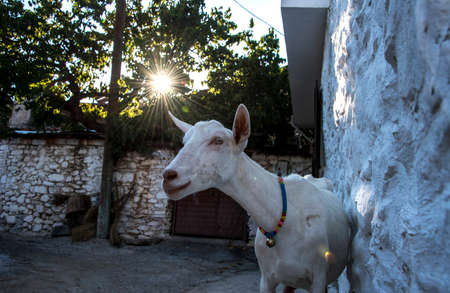 A domestic goat in a village near Ida Mountain