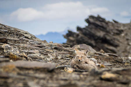 Detail of a grey fox relaxing in the top of Cerro Guanaco in Ushuaia. South of Argentina in Patagonia Stock Photo