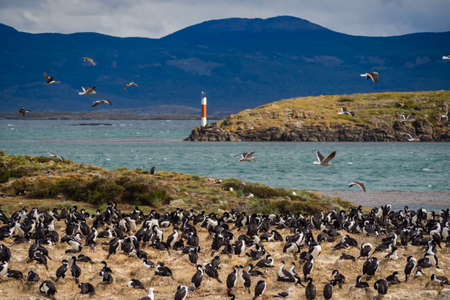 Imperial cormorant in one island of the Beagle Channel in front Ushuaia, Wild life in Argentinian coast Фото со стока