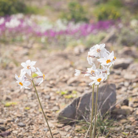Flowering desert (desierto florido in Spanish). It rarely rains in Atacama desert but it does a carpet made of millions of flowers covers the otherwise dry ground. Flowers in the desert