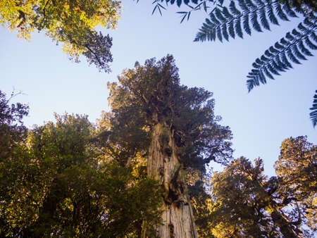 Larch in the Andes range, big tree in patagonia. Natural Park Pumalin in Chile. Tallest trees. South chile