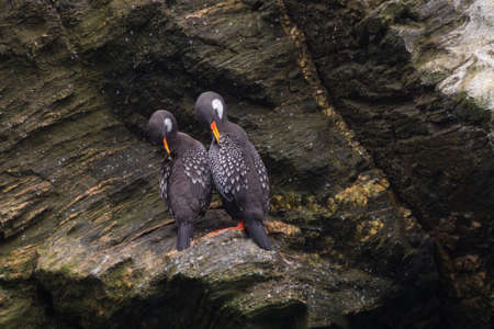 Couples of Lille cormorant in a cliff, Humboldt Penguin National Park in Punta de Choros, Chile. La Serena