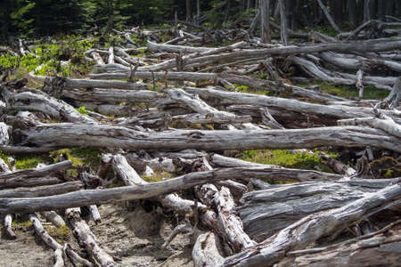Dead forest (caused by beavers) in Tierra del Fuego, Argentina, Patagonia Banco de Imagens