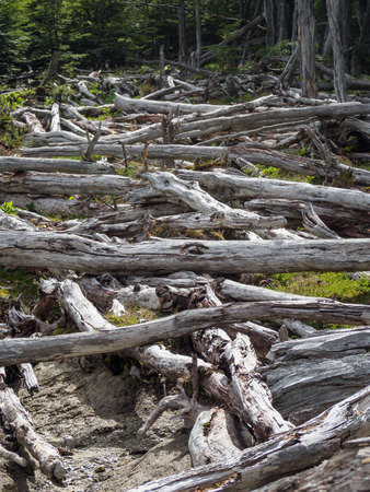 Dead forest (caused by beavers) in Tierra del Fuego, Argentina, Patagonia Stock Photo