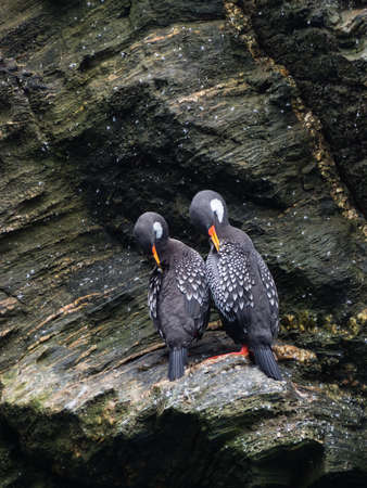 Couple of Lille cormorant in a cliff, Humboldt Penguin national Park in Punta de Choro, Chile