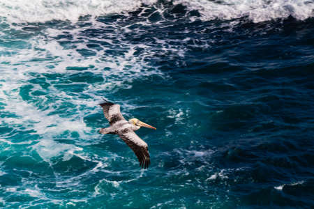 Pelican flying over a blue rough sea, in the coast of north Chile, Antofagasta.