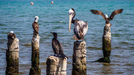 Pelican and other sea birds standing in the coast of Paracas, Peru