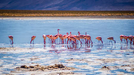 Flamingos in a lagoon of the Avaroa National Park, Bolivia. Salt lake Imagens