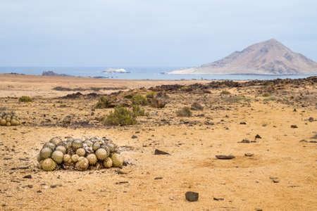 Cactus balls in Pan de Azucar National Park in Chile, Atacama desert, north of Chile