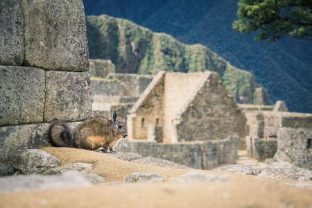 A vizcacha in the Inca ruins of Machu Picchu in Peru, near Cuzco Фото со стока