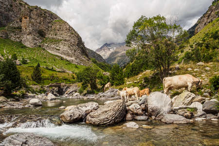 Cows in the valley of Bujaruelo in the Pyrenees of Spain Фото со стока - 131992331