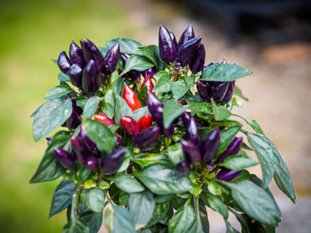 Purple and red chili peppers growing on a plant. Selective focus Фото со стока - 131750153