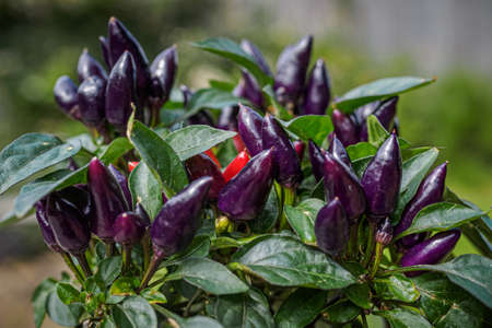 Purple and red chili peppers growing on a plant. Selective focus Фото со стока - 131750211