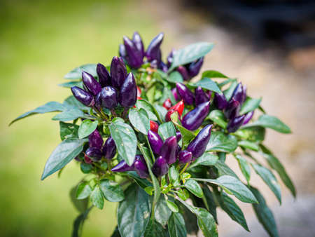 Purple and red chili peppers growing on a plant. Selective focus Фото со стока - 131750197