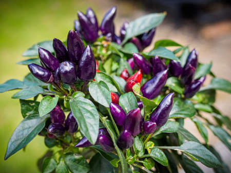 Purple and red chili peppers growing on a plant. Selective focus Фото со стока - 131750139