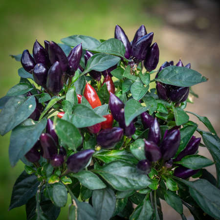 Purple and red chili peppers growing on a plant. Selective focus