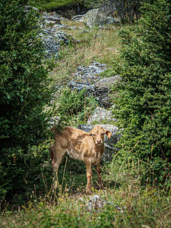 Veal in the valley of Bujaruelo in the Pyrenees of Spain between the trees Редакционное