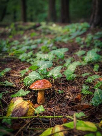 Wild mushroom Boletus Edulis growing in the forest, wild mushrooms in the woods. Edible mushrooms Archivio Fotografico