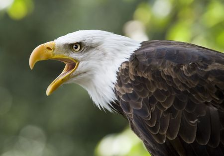 an american eagle Stock Photo