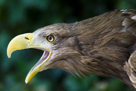a great eagle