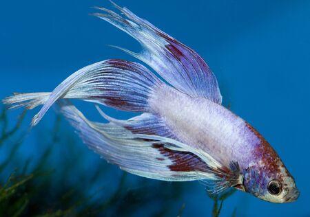 betta a pretty and cute asiatic fish in an aquarium