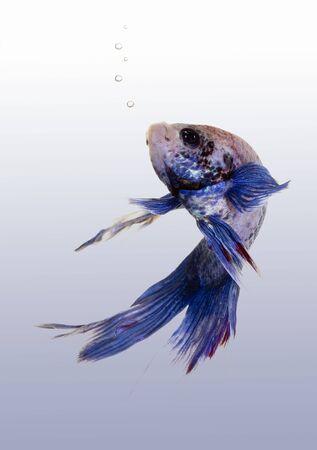 a great asian fish in a tropical aquarium Stock Photo - 3637792