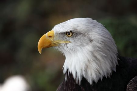 the portrait of a great eagle Stock Photo - 4754741