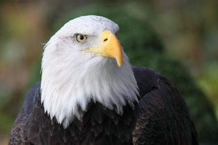 the portrait of a great eagle photo