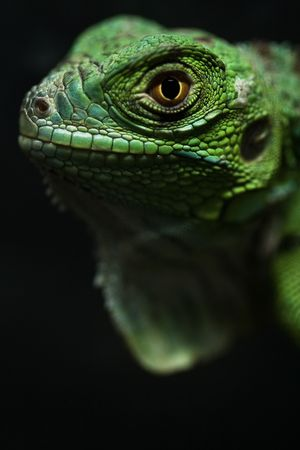 a great and green iguana baby Stock Photo