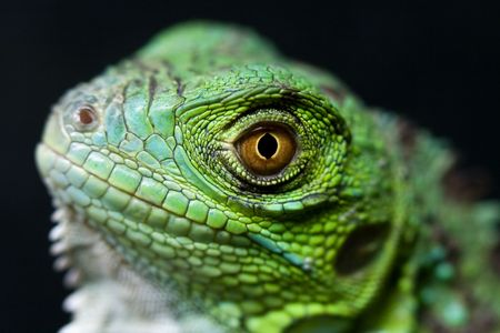 a great and green iguana baby Banco de Imagens
