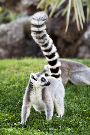 a funny and cute lemur in the zoo Stock Photo