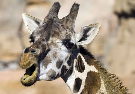 endearment: a cute and funny face of a giraffe Stock Photo