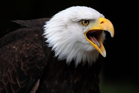 bald eagle Stock Photo - 5373383