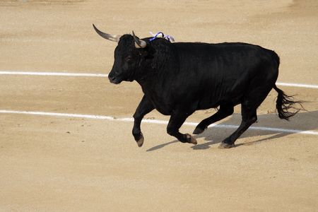 a dangerous fighting bull in a festival Stock Photo