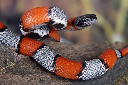 a picture of a beautiful coral snake Stock Photo - 5881227