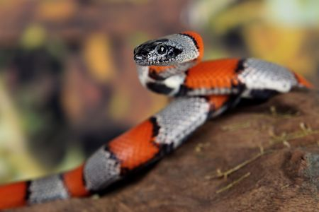 a picture of a beautiful coral snake