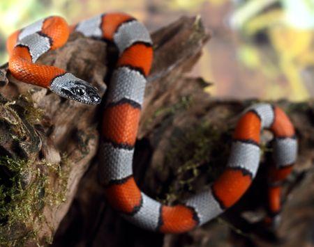 美しい珊瑚ヘビの写真 写真素材
