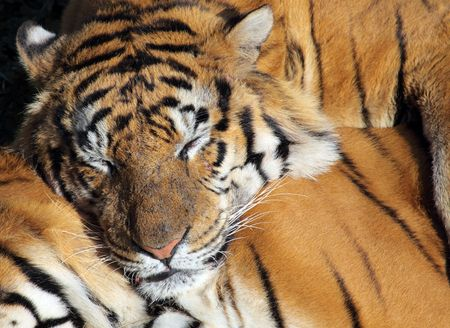 a fantastic and beutiful tiger in a zoo Stock Photo - 6093430