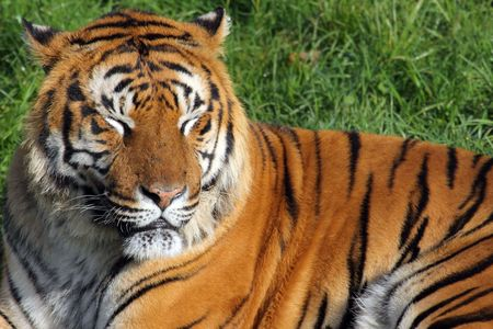 a fantastic and beutiful tiger in a zoo Stock Photo - 6093466
