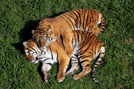 a fantastic and beautiful tiger in a zoo