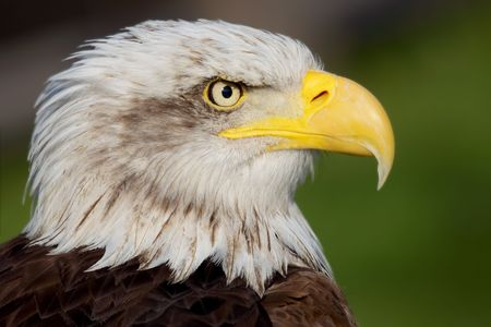 a portrait of a fantastic american bald eagle photo