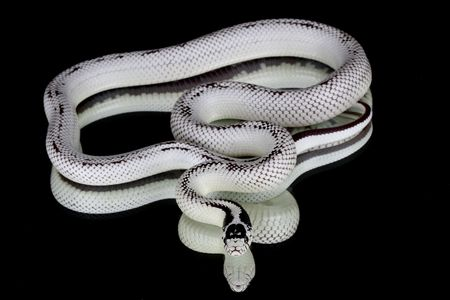 a picture of a beautiful white snake over a black background