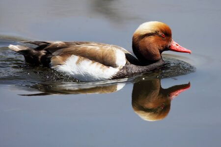 mirro: a beautiful duck swimming in a lake