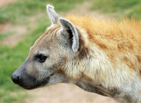 portrait of an african hyena Stock Photo - 7619801