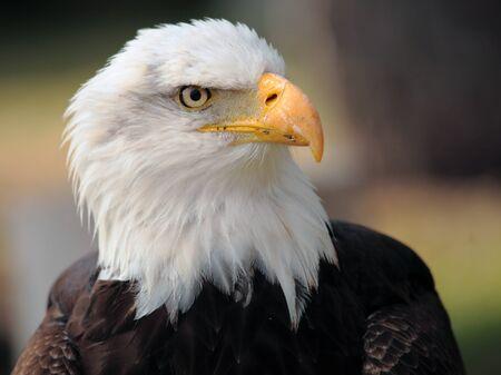 aguila calva: águila calva Foto de archivo