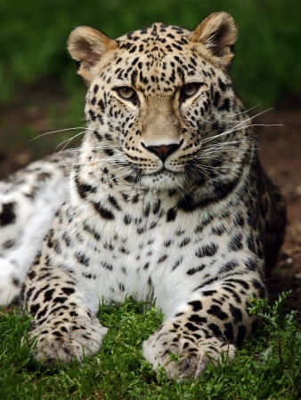 leopard Stock Photo - 14169763