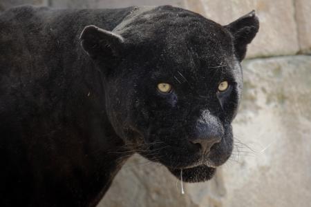 美しい黒豹の肖像画 写真素材